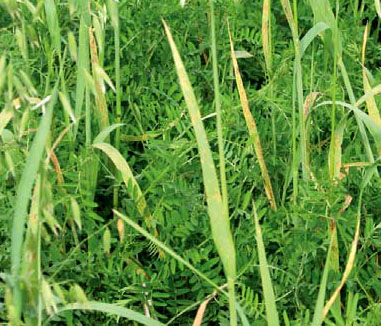 Photo of Hairy Vetch and Oats