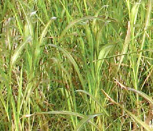 Photo of Sudangrass