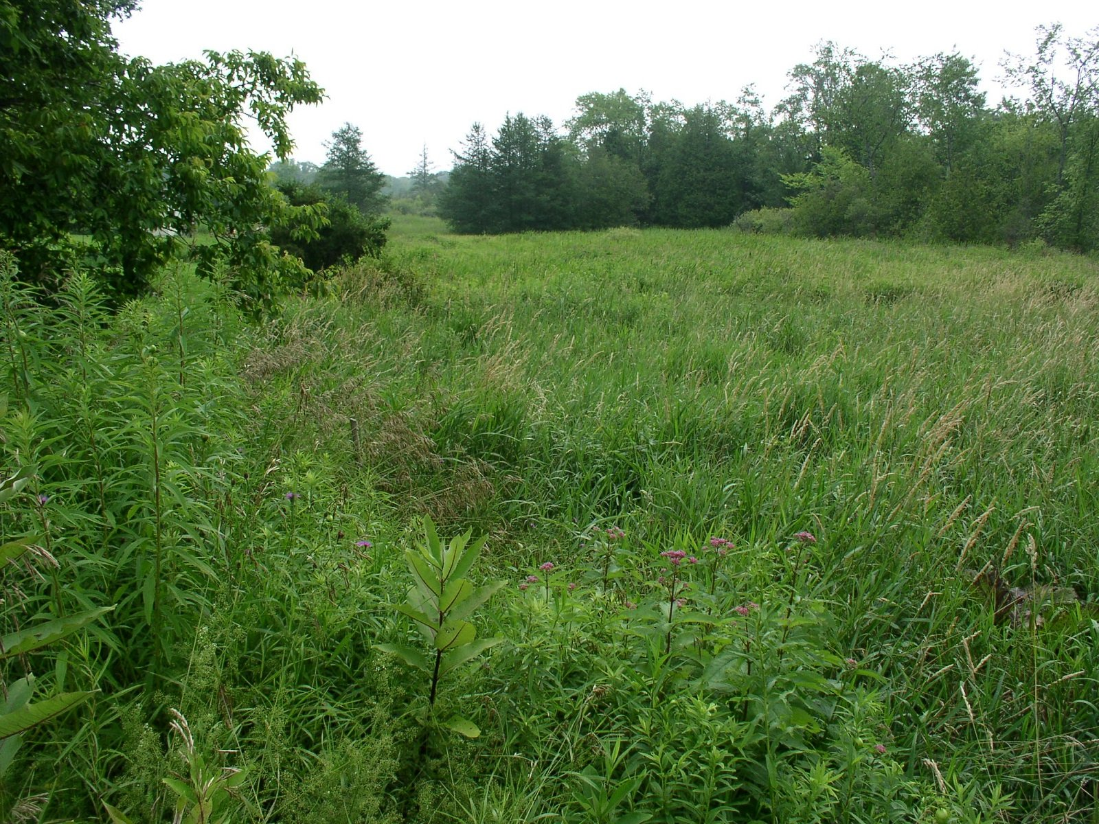 Easement area prior to restoration inundated with Reed Canary grass. Photo taken from edge of road