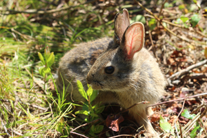 A New England Cottontail rabbitt.