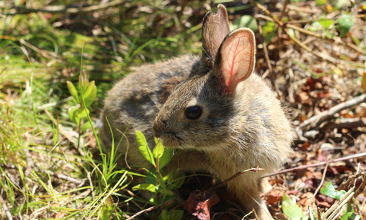 A New England Cottontail rabbit.