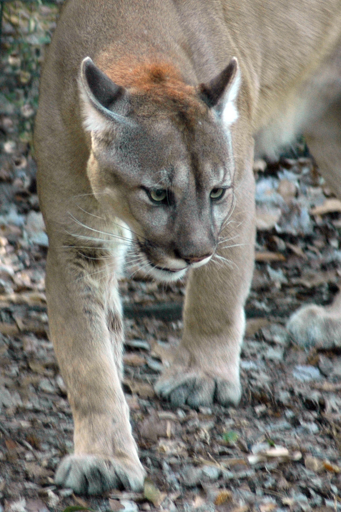 Goodno Ranch provides a corridor for the Florida panther to cross the Caloosahatchee River