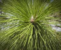 Longleaf pinetrees are resistant to fire