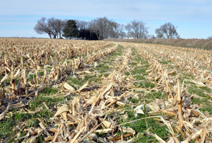 Rye grass cover crops grow in corn residue.
