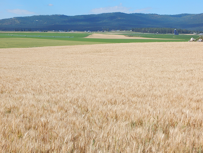 A wheat field that will remain in agricultural production under the Grosswiler's conservation easement.