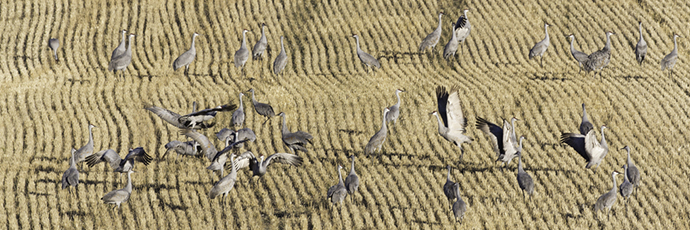 Sandhill cranes feeding. Photo by Dick Walker.