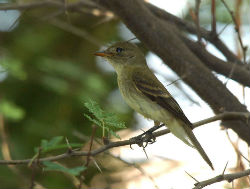 Southwestern willow flycatcher resting on a tree branch.