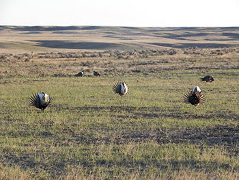 Sage grouse on a lek.