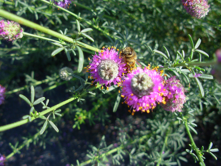 Honey bee pollinating purple prairie clover at Bridger Plant Materials Center's forb demonstration planting.