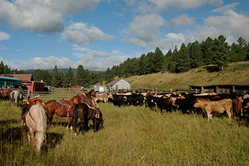 Horses and cattle on the Raths ranch.