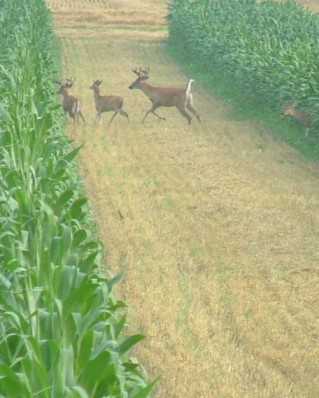 Deer run through a strip cropped field in Gratiot County