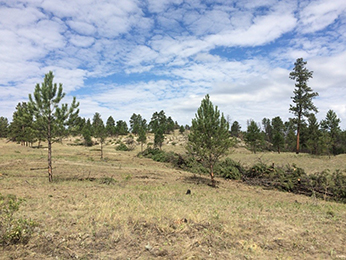 Ponderosa pine and Rocky Mountain juniper thinned for wildlife habitat and fuels reduction.