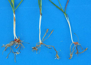 Stunted wheat roots